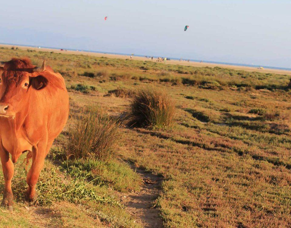 Kuh läuft auf spanischen Strand frei herum