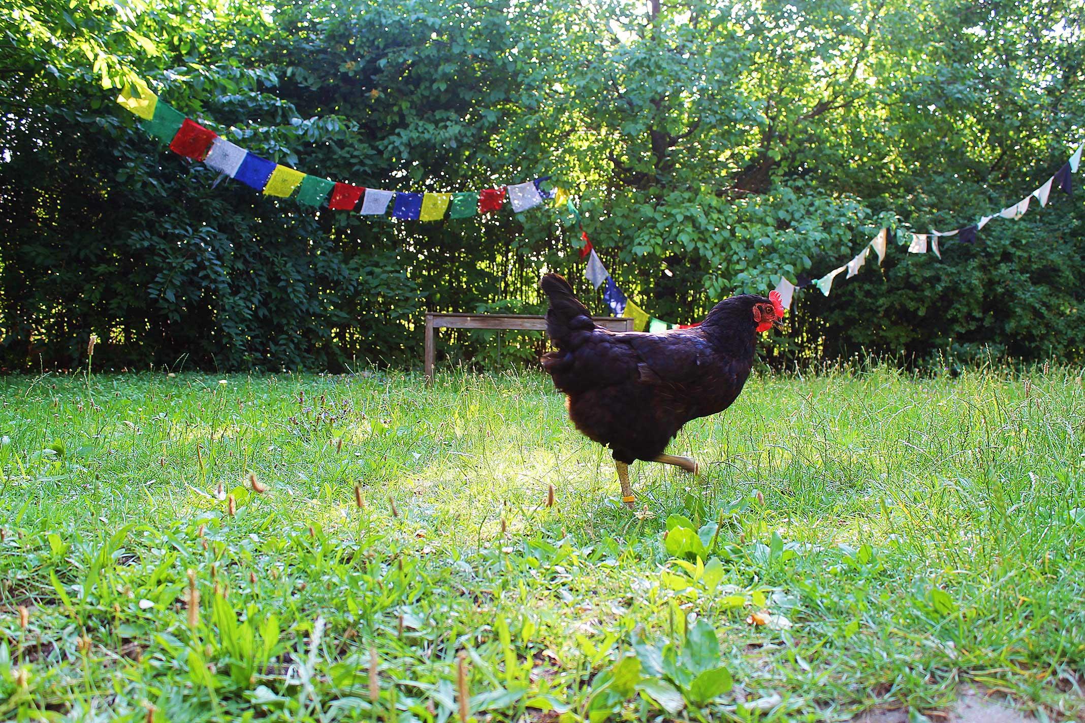 schwarzes Huhn läuft in Garten herum