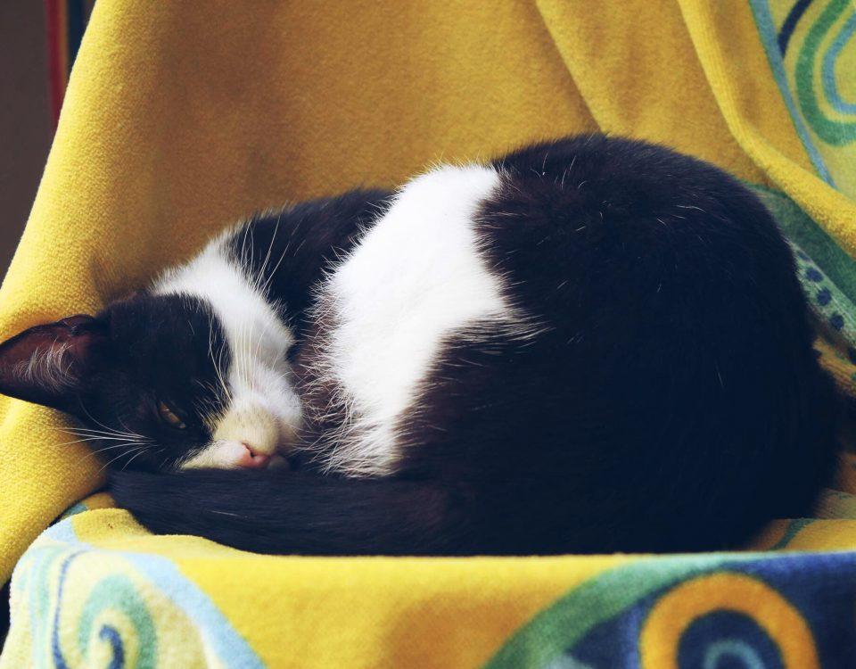 schwarzweiße Katze schläft auf gelbem Tuch