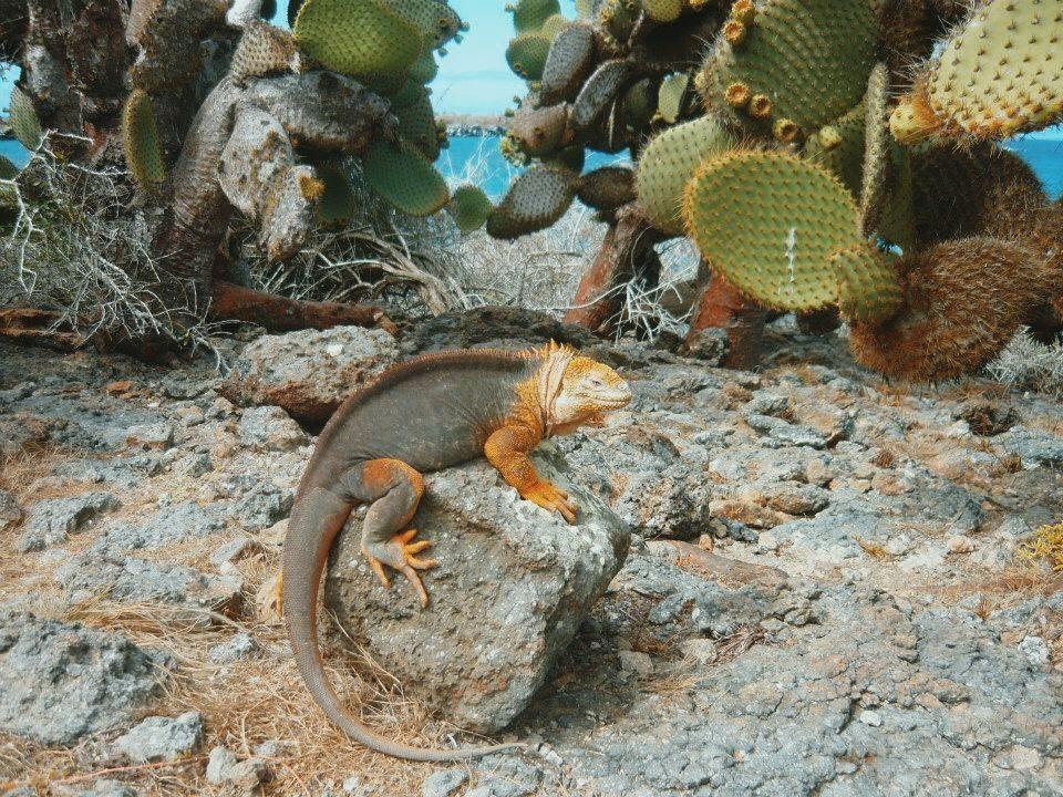 Meerechse auf Galapagos