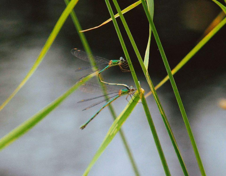 Libellenpaarung am Teich
