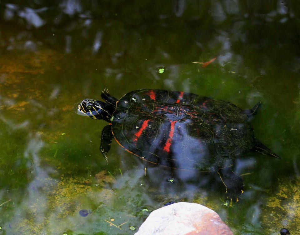 Florida-Rotbauch-Schmuckschildkröte im Wasser