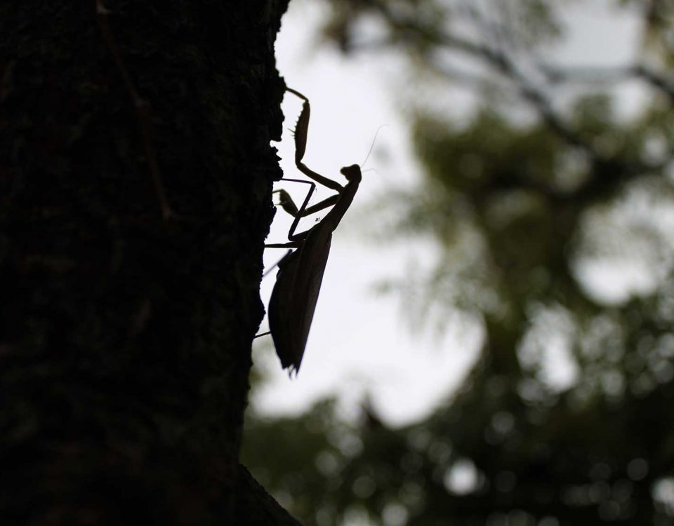 Mantis religiosa auf Baumstamm