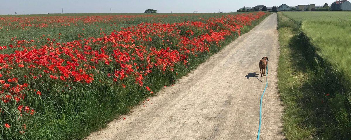 Feldweg mit roten Mohnblumen und Hund