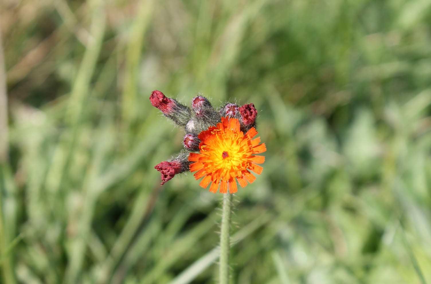 Orange-gelbe Blume im Waldviertel