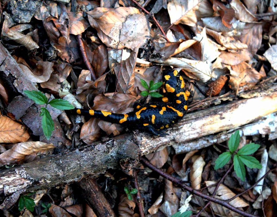 Feuersalamander im Biosphärenpark Wienerwald