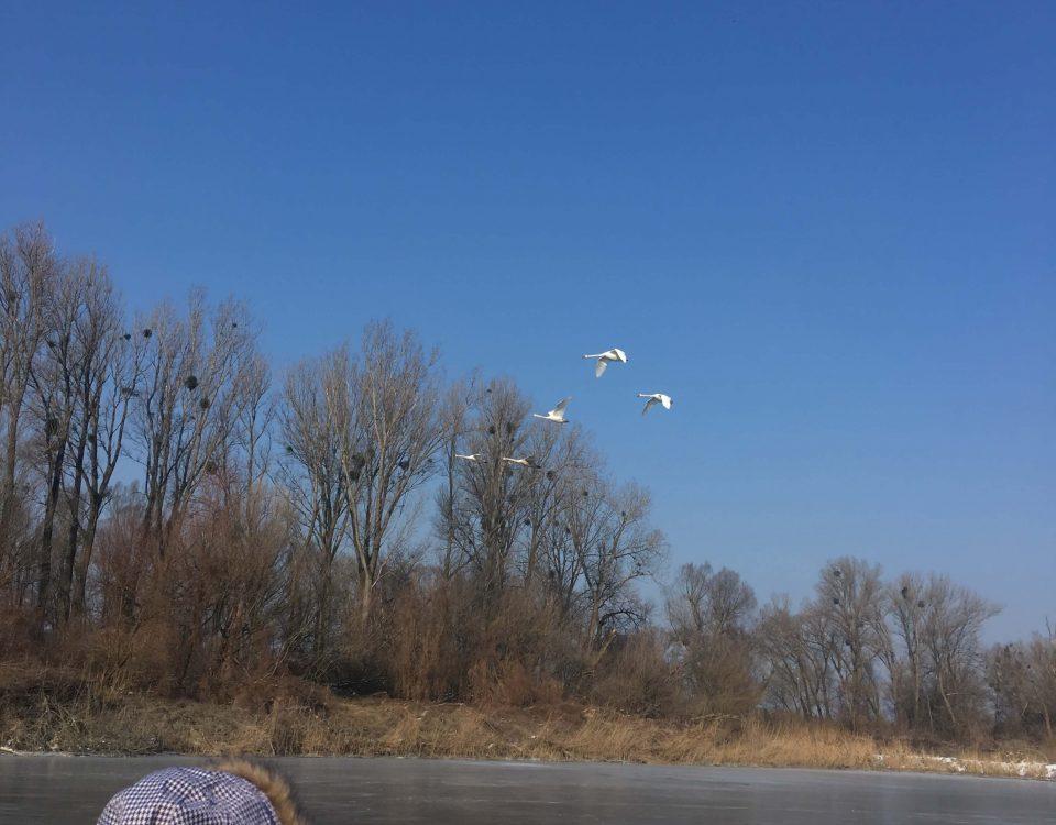 Fliegende Schwäne in Winterlandschaft
