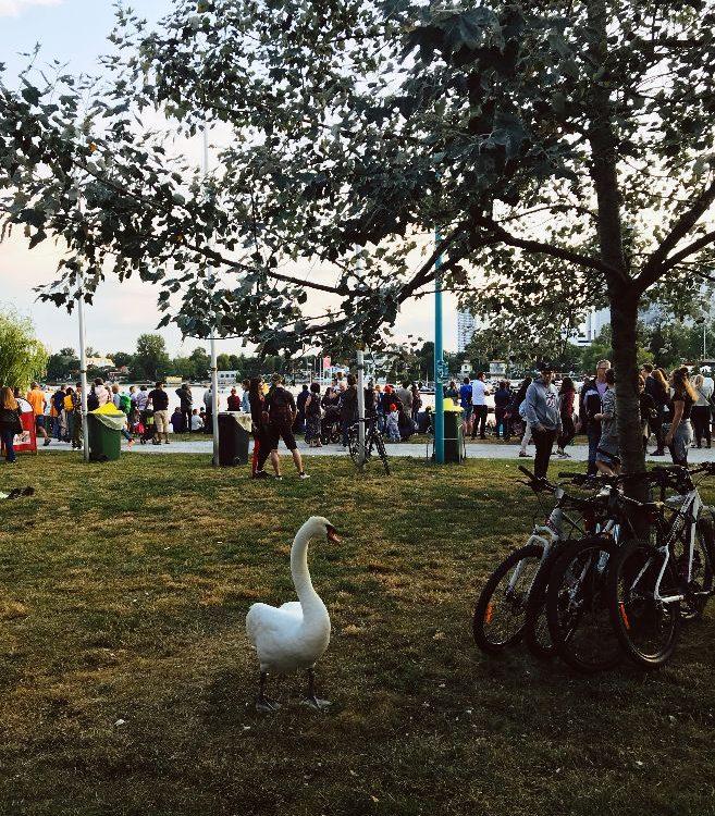 Schwan Alte Donau Wien am Lichterfest