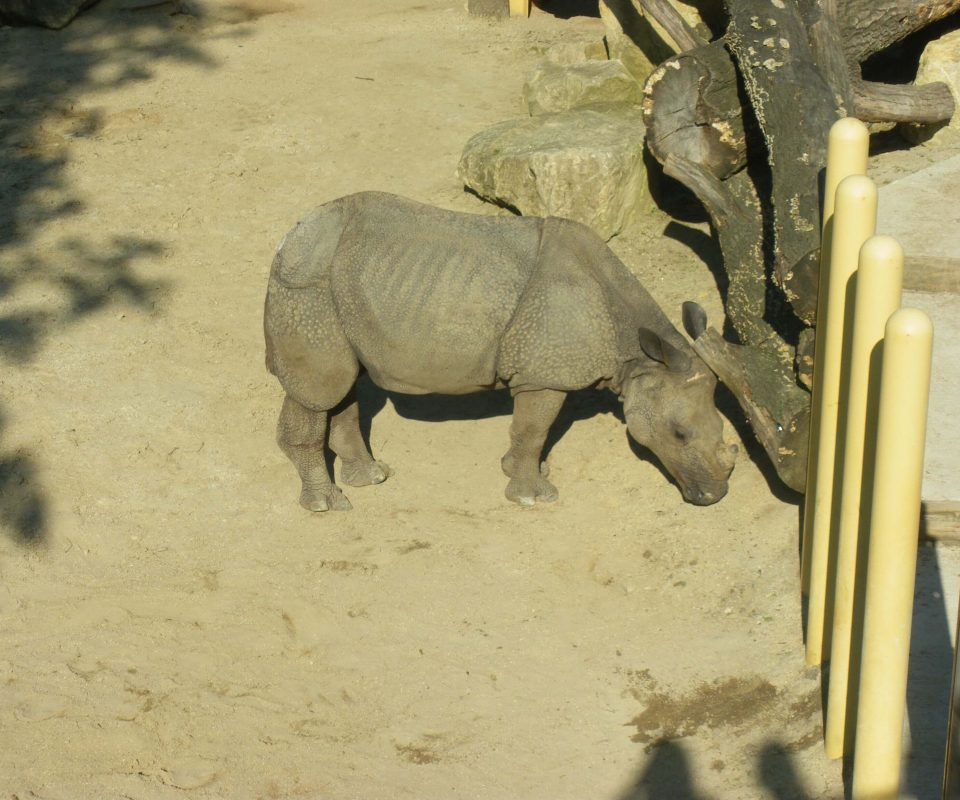 Nashorn im Zoo Schönbrunn