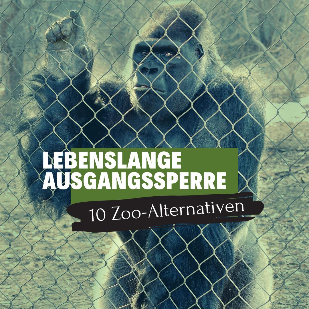 Gorilla hinter Gitter