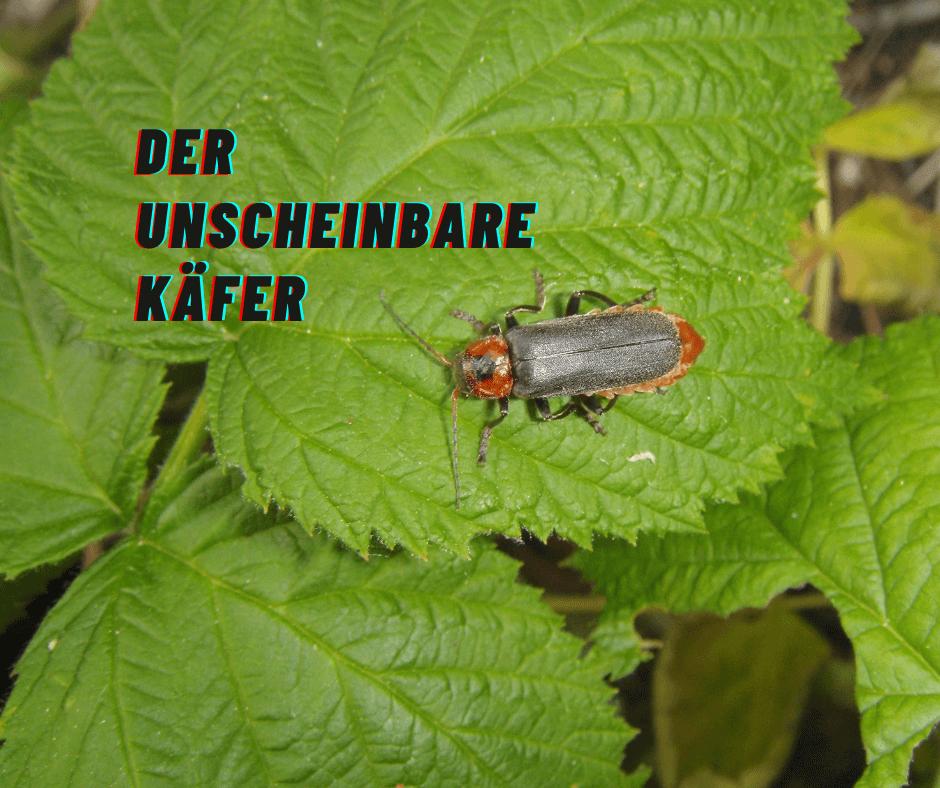 Ein Weichkäfer wsitzt auf einem Blatt - drüber die Überschrift Der unscheinbare Käfer