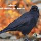 Krähen - die Singvögel des Winters